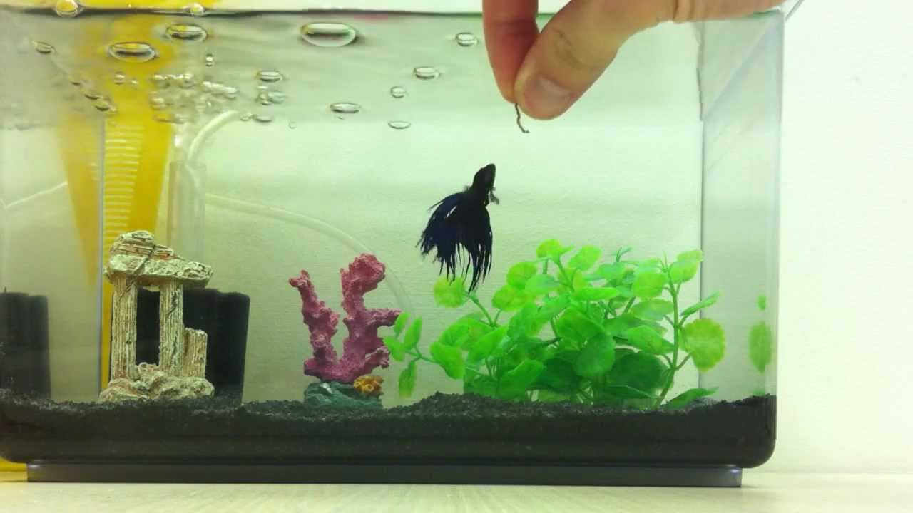 Betta fish eating blood worms youtube for Bloodworms for fish