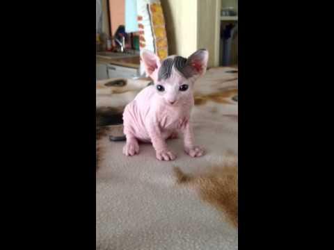 Bambino Kitten Youtube