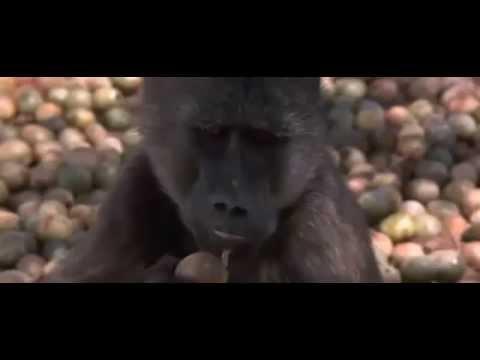Động vật hoang dã châu Phi say rượu mp4