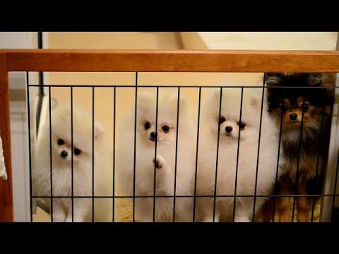 ティーカップなホワイトポメラニアン TWINKLESNOW犬舎