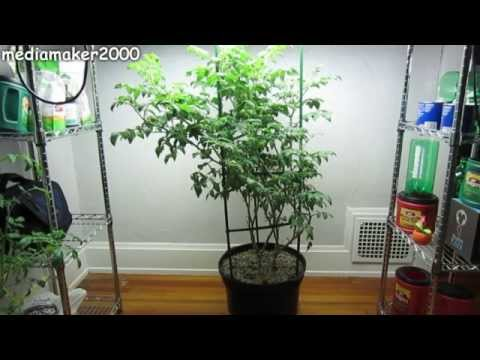 Easy Hydroponic Tomato - No Pumps! Growing Fast!  Experiment DIY