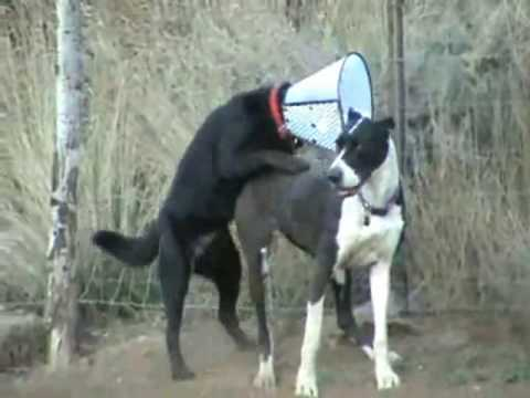 Great Dane Mission Impossible - YouTube