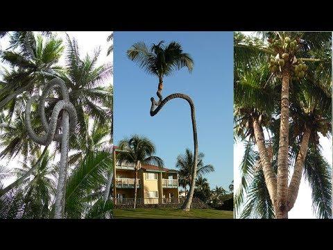Tuyệt đỉnh công phu, xem người dân bến tre xứ dừa hái dừa có điêu luyện không