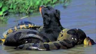 Anaconda VS. Rottweiler! (Graphic Content) NEW!!!
