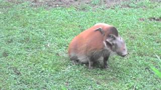 [I LOVE THE RAIN SONG! RED RIVER HOG] Video
