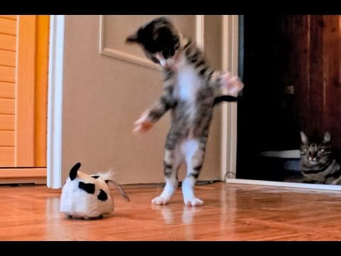 Kitten Versus Robotic Dog Toy & Adult Cat, Nikita - adopted kitten (female). BoBo - my first cat (from 2,5 years). Nikita was adopted in 11th of October when she had about 1,5 month. More videos with ...