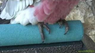 Comment Couper Les Ongles De Mon Perroquet.flv
