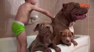 Chú chó pitbull lớn nhất thế giới nặng 80kg - Có lẽ Gia Đình này hạnh phúc nhất quả đất