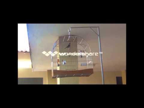 CURIO CARBONO - CAMPEÃO BRASILEIRO 2013 - CANTO PRAIA CLASSICO COM REPETIÇÃO