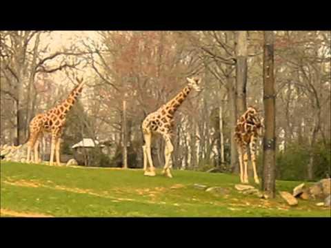 Giraffe sex video
