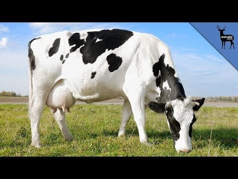 Why Do We Drink Cow's Milk?