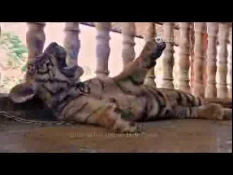 Vanguard: Tiger Farms - OnDIRECTV
