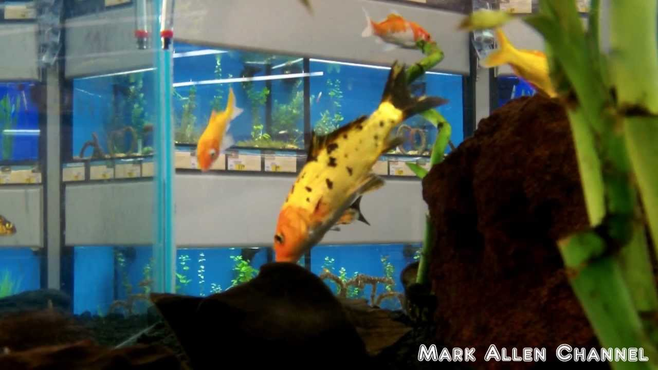Pet fish at petco petsmart youtube for Petco small fish tank