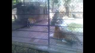 PELEA DE TIGRES 2014 Tigre Vs Tigre