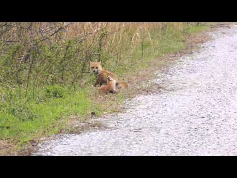 Fox at Bombay Hook Wildlife Refuge