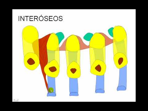 Miologia miembro superior coscarelli 7