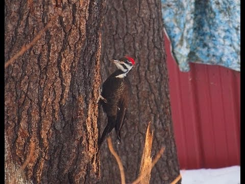 Woodpecker vs Dead Pine Tree