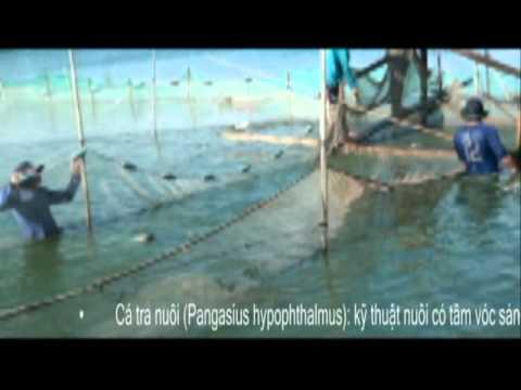 thu họach cá Tra mùa nước nổi  by ddhung