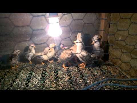 ga tre tan chau (citythaibinh - 0983244680) gà tơ dưới 1 tháng tuổi