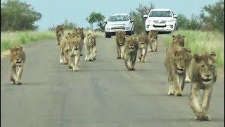 Kruger Park's Largest Lion Pride Ever Walking in Road
