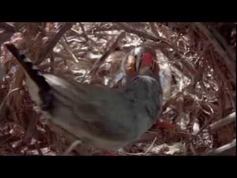 chris ventouris - Zebra Finch