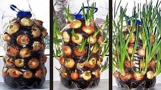 Plantar cebollas en una botella de plástico