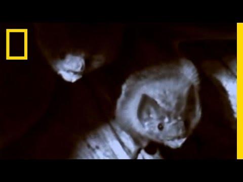 Thumbnail image for 'Vampire Bats: The Biting Truth'