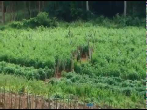 Novas tecnologias para o plantio de tomate - Programa Revista do Campo