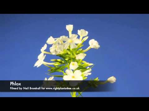 Phlox flower time lapse