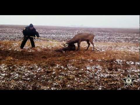Whitetail deer locked together and separated by Illinois Conservation Police