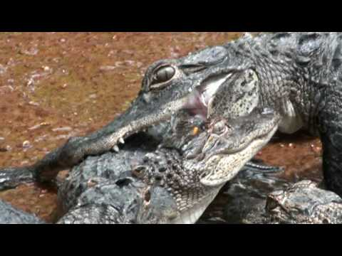 Alligator Fight/Attack: Crocodile vs. Crocodile - YouTube