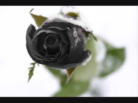 for Do black roses really exist