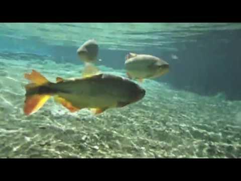 Peixes nas águas cristalinas do Rio da Prata