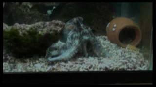 カニ達を捕食するタコ