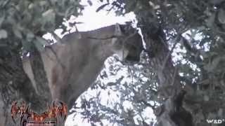 Crazy Cougar Shot in Tree!!