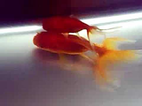 Goldfish breeding eggs - photo#3
