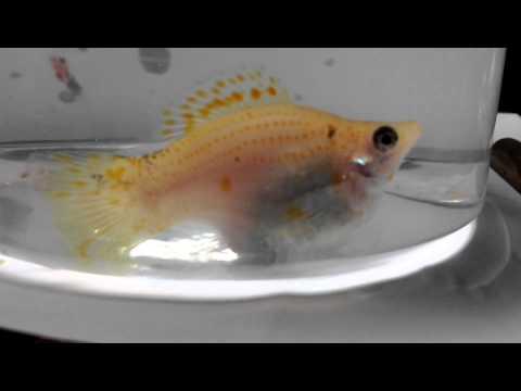 黃巨鼓球魚生寶寶.mp4