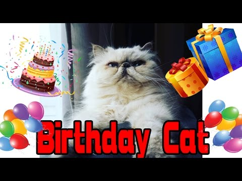 Angry Birthday Cat - Two Stupid Cats  Ep 15 - Funny cat video