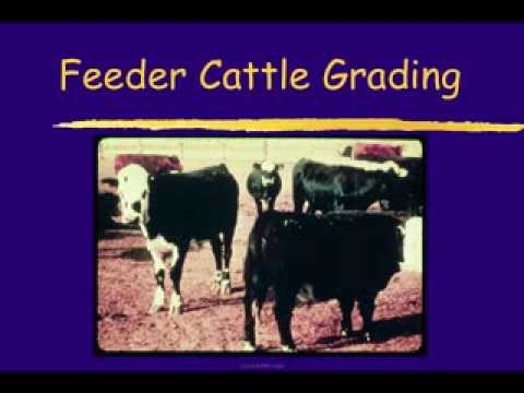 livestock marketing and evaluation test with A module 3:beef cattle judging market steers  a evaluate most important traits  first a eliminate any easy placings first a place  test your skills 1 2 3 4.