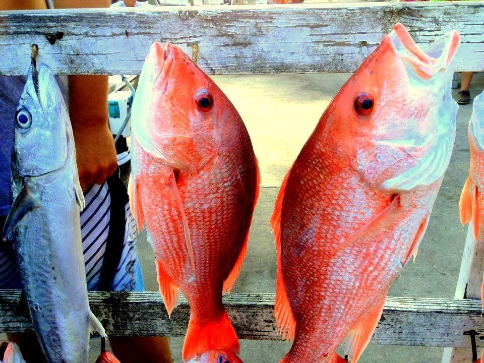 Gulf of mexico panama city beach deep sea fishing with for Panama city beach party boat fishing