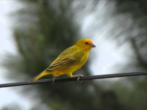 Canarinho do peito amarelo Tibagi e Miltinho