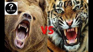 Hổ Siberia vs Gấu Kodiak, con nào sẽ thắng #25 || Bạn Có Biết?