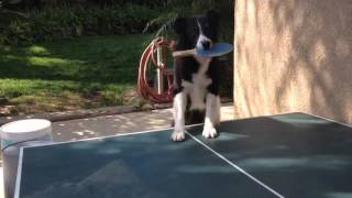 Smart Dog Plays Ping Pong
