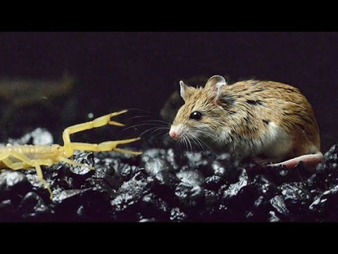MOUSE IMMUNE TO SCORPI...