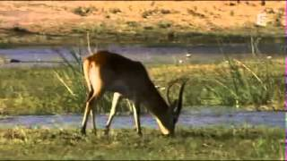 Documentaire animalier : Les predateurs de la savane