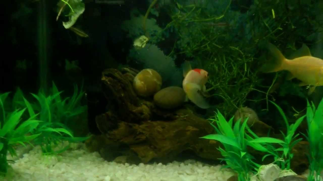 Cold water community aquarium youtube for Cold water pet fish