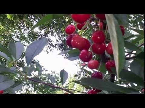 BugVibes ™ Cherry.  Grow cherries without nets and with reduced pesticides.