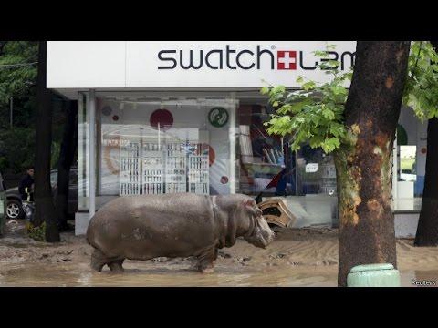 Gấu và hà mã lang thang trên phố sau lũ lụt ở Tbilisi