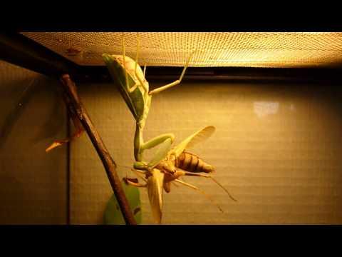 sphodromantis lineola femelle qui mange le mal après l'accouplement