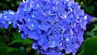 Cultivar Hortensias Hydrangeas